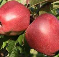 Глостер сорт яблок описание. Высокоурожайная яблоня Глостер