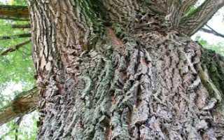 Как выглядит дерево тальник. Тал дерево – Тальник Википедия