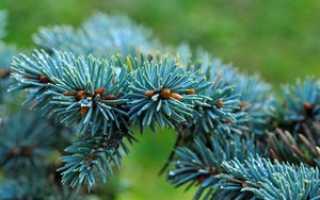 Где лучше на участке посадить голубую ель. Сажаем и ухаживаем за голубой елью