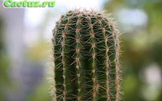 Биологическое значение кактуса. Растение кактус: особенности строения и характеристика