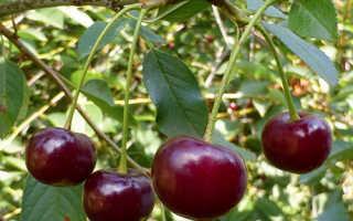Вишня десертная описание сорта фото отзывы. Десертная Морозовой: описание и характеристика сорта вишни