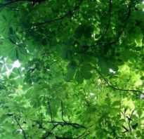 Как выглядит лист каштана осенью. Как выглядит лист каштана осенью фото