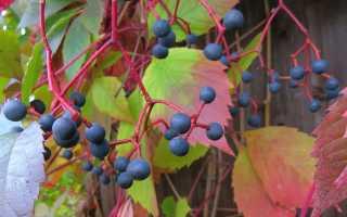 Девичий виноград вичи размножение. Виноград Вичи, посадка и уход
