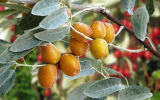 Джигида ягода полезные свойства. Лох узколистный — Дерево Джида: вся правда о дикой маслине