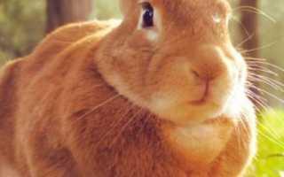 Как узнать беременна ли крольчиха. Как определить беременность крольчихи?