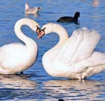 Где зимует лебедь. Пути миграции лебедей