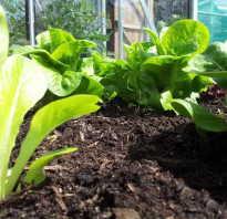 Как сажать салат листовой. Технология выращивания салата на грядке и в теплице, как вырастить салат на подоконнике