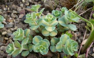 Заячья капуста трава фото. Как выглядит заячья капуста и её лечебные свойства