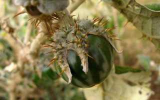 Баклажаны сорт черный принц. Описание и выращивание баклажанов сорта Черный принц