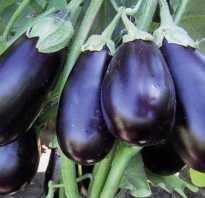Баклажан самурай f1. Семена баклажана САМУРАЙ F1 / SAMURAI F1, ТМ KITANO seeds — 20 семян