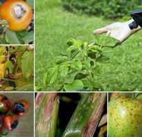 Альтернариоз моркови. Альтернариоз: фото, описание и способы лечения опасного заболевания