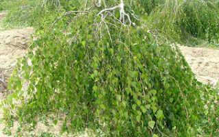Береза карликовая декоративные деревья и кустарники. Береза карликовая (Береза малорослая, Береза карличная)