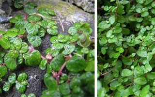Гелксина уход в домашних условиях фото. Зелёные шары солейролии: выращивание и уход в домашних условиях
