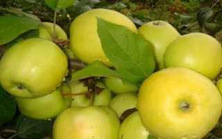Белоснежка яблоня. Сорт яблони «Юнга»: характеристика, плюсы и минусы