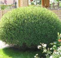 Ива шаровидный карлик фото. Ландшафтный дизайн участка