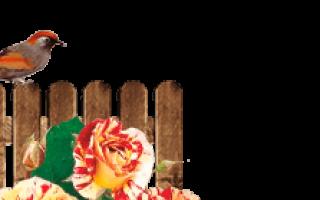 Диорессанс роза. Розы Диорессенс