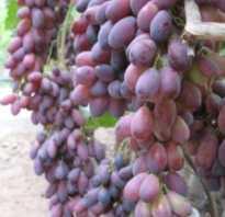 Виноград ася описание. Сорт винограда «Ася» — для рынка годится, и похвастать можно