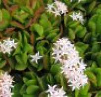 Божье дерево фото. Божье дерево: описание растения, его лечебные известные свойства, противопоказания