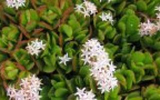 Божье дерево лечебные свойства и противопоказания. Божье дерево: описание растения, его лечебные известные свойства, противопоказания
