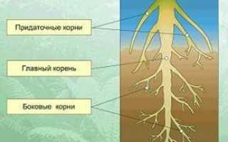 Береза корневая система схема. Корневые системы сосны и березы в чистых и смешанных культурах