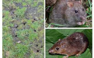 Земляная крыса в огороде фото. Как избавиться от земляных крыс на участке?