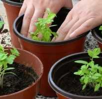 Как огурцы подвязать на подоконнике. Как выращивать и подвязывать огурцы на балконе или подоконнике в домашних условиях