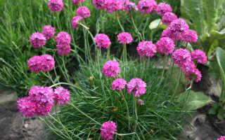 Армерия приморская посадка и уход фото. Армерия приморская— прекрасный и нежный цветок в саду