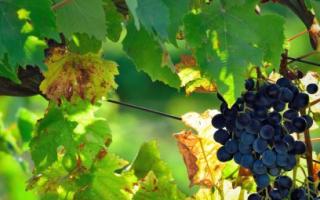 Как посадить виноград в краснодарском крае. Виноград посадка и уход в краснодарском крае. Выращивание винограда: Краснодарский край