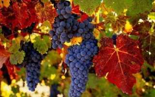 Виноград амурский белый. Описание черного и белого сорта винограда Амурский, посадка и уход, размножение