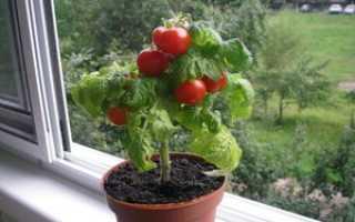 Выращивание томатов в квартире. Как вырастить помидоры в домашних условиях: пошаговая инструкция, особенности ухода