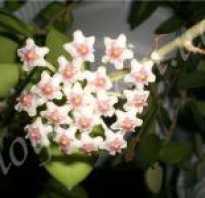 Hoya nummularioides.