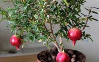Гранатовые перегородки полезные свойства. Полезные свойства граната и противопоказания фрукта, сока, косточек