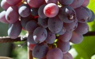 Виноград сорта низина видео. Описание винограда Низина, особенности выращивания, преимущества и недостатки сорта