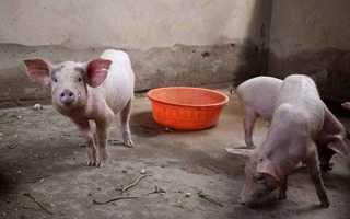 Выгул для свиней.