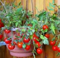 Горшечные помидоры. 10 декоративных помидоров — комнатные сорта для зимнего выращивания