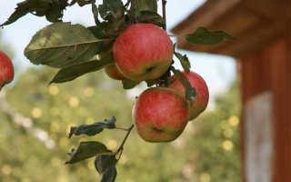 Какую яблоню посадить в подмосковье. Яблони в подмосковье лучшие сорта