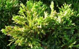 Juniperus virginiana. Можжевельник виргинский «Канаерти»