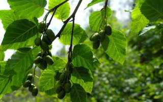 Двудомное растение примеры. ДВУДОМНЫЕ РАСТЕНИЯ