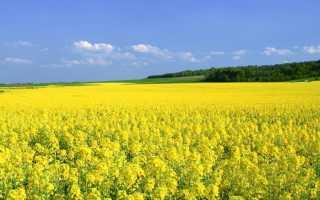 Как выглядят семена горчицы фото. Семена горчицы — польза и вред для организма