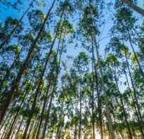 Какое дерево выше каштан или эвкалипт.