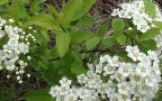 Белоголовник фото. Белоголовник: где растет, чем полезен, когда собирать и как сушить, как заварить и применять