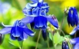Водосборник цветок посадка и уход. Водосборник — цветок на вашем участке