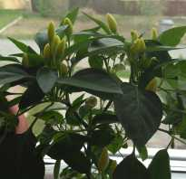 Как посадить горький перец из семян дома. Горький перец, как вырастить на подоконнике