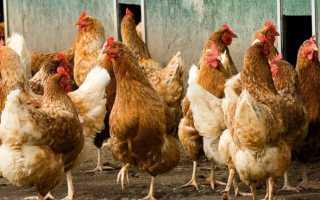 Болезни цыплят и их лечение симптомы фото. Болезни кур – симптомы и лечение, фото и видео