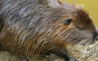 Животное нутрия фото. Нутрия животное. Образ жизни и среда обитания нутрии