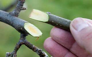 Как привить фруктовые деревья видео. Как прививать деревья быстро и правильно?