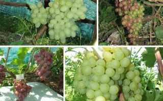 Виноград какой плод. СЕВЕРНЫЙ ВИНОГРАД