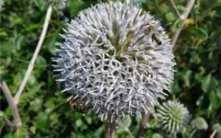 Выращивание мордовника из семян. Описание и агротехника шароголового мордовника
