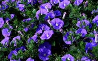 Березка трехцветная выращивание из семян. Вьюнок — фото цветка, описание видов растения, уход в домашних условиях, посадка и выращивание